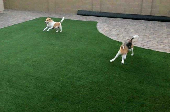Dogs Playing on Artificial Grass in Backyard